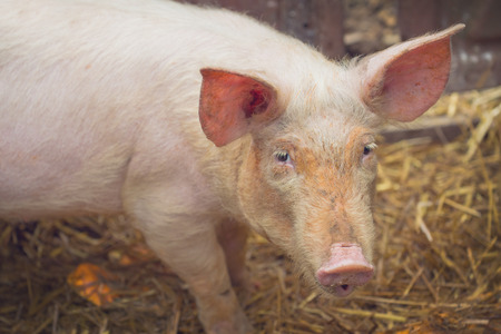 snouts: Young Pig on Breeding Animal Farm Looking At Camera, Selective focus with shallow depth of field.
