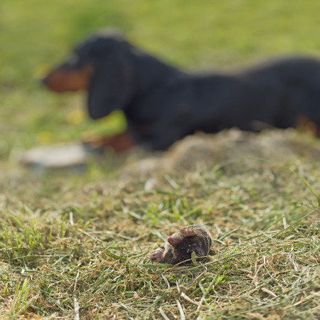 dead dog: Dachshund Dog LAying in the Grass by Dead Mole in the Garden