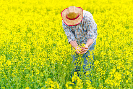 yellow agriculture: Male Farmer Standing in Oilseed Rapeseed Cultivated Agricultural Field Examining and Controlling The Growth of Plants, Crop Protection Agrotech Concept.