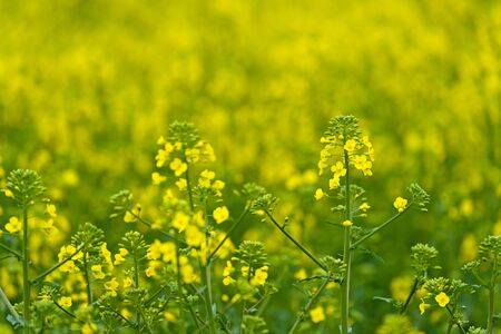 oilseed rape: Oilseed Rapeseed Flower Close up in Cultivated Agricultural Field, Selective Focus with Shallow Depth of Field, Crop Protection Agrotech Concept