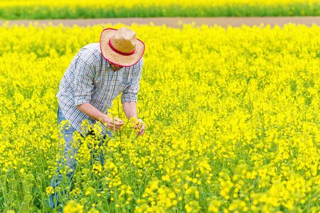 Male Farmer Standing in Oilseed Rapeseed Cultivated Agricultural Field Examining and Controlling The Growth of Plants, Crop Protection Agrotech Concept.