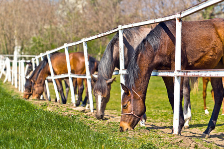 graze: Herd of Beautiful Young Horses Graze on the Farm Ranch, Animals on Summer Pasture Stock Photo