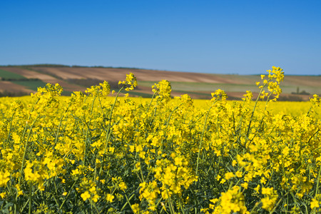 bio diesel: Oilseed Rapeseed Flowers in Cultivated Agricultural Field, Crop Protection Agrotech Concept