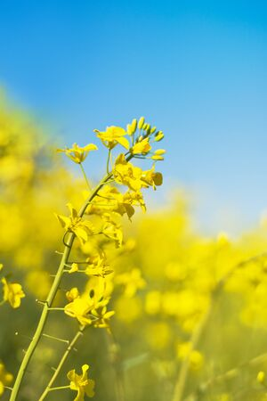 narrow depth of field: Oilseed Rapeseed Flowers in Cultivated Agricultural Field, Crop Protection Agrotech Concept, Close up with Selective focus and Narrow Depth of Field