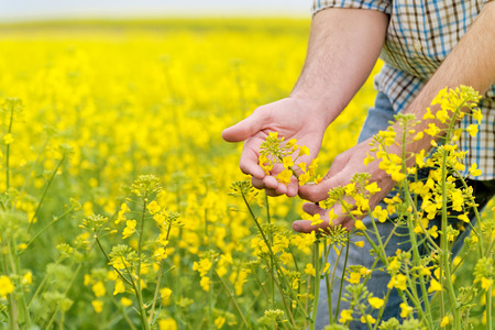 Farmer Handen in Oilseed Koolzaad Gekweekte Landbouw Gebied onderzoeken en beheersen van de groei van planten, selectieve aandacht met ondiepe scherptediepte, Crop Protection Agrotech Concept Stockfoto