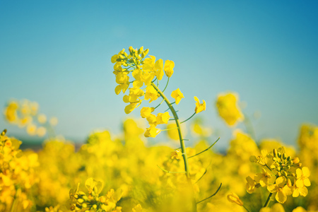 bio diesel: Oilseed Rapeseed Flowers in Cultivated Agricultural Field, Crop Protection Agrotech Concept, Close up with Selective focus and Narrow Depth of Field