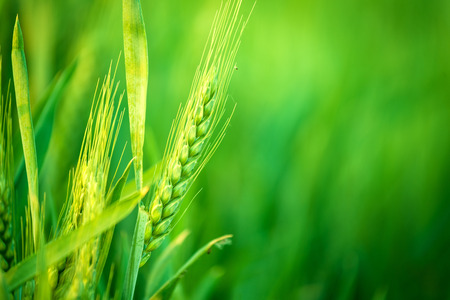 Green Wheat Head in Cultivated Agricultural Field, Early Stage of Farming Plant Development, Selective Focus with Shallow Depth of Field