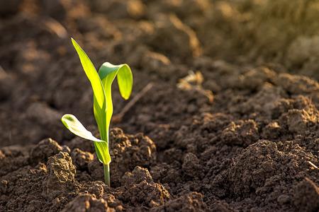 planta de maiz: Creciendo Jóvenes Verdes de maíz cultivado en plántulas Brotes Agrícola Granja campo, enfoque selectivo con poca profundidad de campo