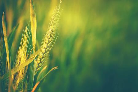 landwirtschaft: Grünes Weizen-Kopf in Kulturpflanzen Landwirtschaftliche Feld, frühen Stadium der Landwirtschaft Pflanzenentwicklung, Retro Getönt mit Tiefenschärfe mit flachen Depth of Field Lizenzfreie Bilder