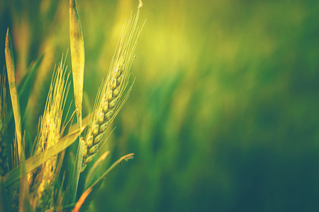 Green Wheat Head in Cultivated Agricultural Field, Early Stage of Farming Plant Development, Retro Toned Image with Selective Focus with Shallow Depth of Field Foto de archivo