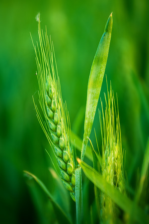 farming plant: Green Wheat Head in Cultivated Agricultural Field, Early Stage of Farming Plant Development, Selective Focus with Shallow Depth of Field