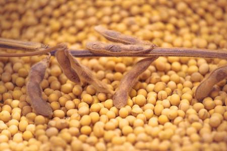 soja: Maduras plantas de haba de soja y frijoles Como Agricultura Cultivado Cultivo Cosecha concepto, enfoque selectivo con poca profundidad de campo