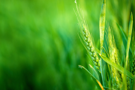 rural development: Green Wheat Head in Cultivated Agricultural Field Stock Photo