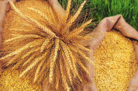 sacks: Ripe Wheat Ears and Sacks with Grain Stock Photo