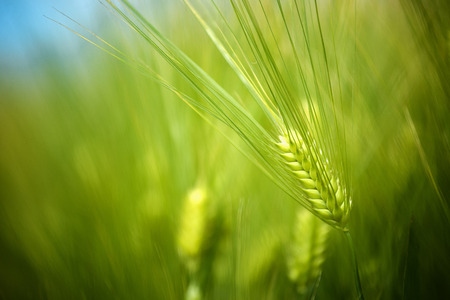 agricultura: Los cultivos de trigo verde jóvenes que crecen en Agricultura Cereales Cultivado Plantación Campo Foto de archivo