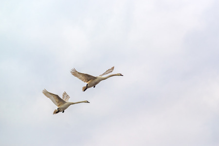 trumpeter swan: Beautiful White Swans Flying Over Gray Cloudy Autumn Sky