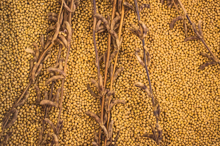 protein crops: Ripe Soy Bean Plants and Beans As Agriculture Cultivated Crop Harvest Concept. Stock Photo