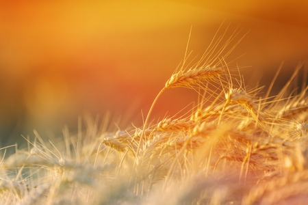 harvest field: Golden Wheat Crops in Agricultural Field, Ripe and Ready for Harvest, Selective Focus with Blank Copy Space