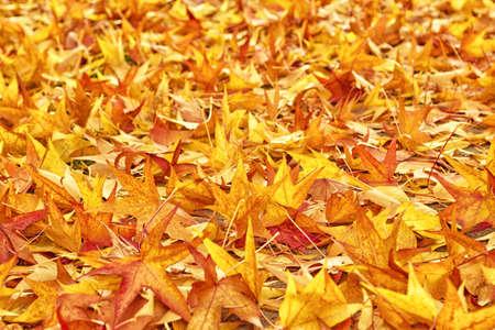 hojas secas: Arce japonés rojo árbol seco de las hojas de otoño caidas en el suelo como fondo natural de temporada. enfoque selectivo con poca profundidad de campo.