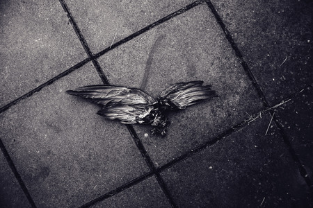 black wings: Dead bird with wings spread on street pavement, black and white image
