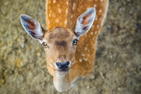 roe: Beautiful young fallow deer, wild animal in natural surrounding looking at camera