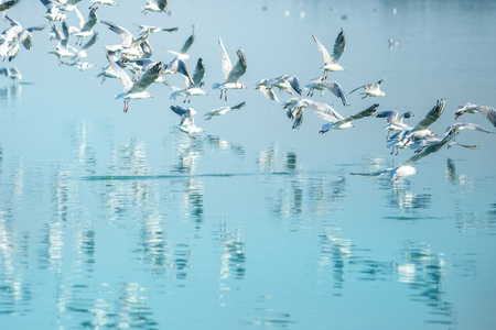 water bird: Flock of seagulls flying over lake, reflection of birds on water surface Stock Photo