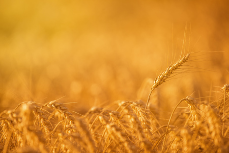 a crop: Golden Wheat Crops in Agricultural Field, Ripe and Ready for Harvest, Selective Focus with Blank Copy Space