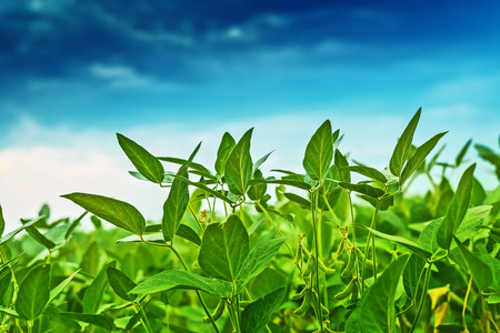 genetically modified crops: Soybean crops in field, soya bean growing on plantation, blue sky in background, selective focus. Stock Photo