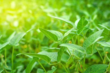 genetically modified crops: Soybean crops in field, young green soya bean growing on plantation, sunlight flare effect, selective focus. Stock Photo