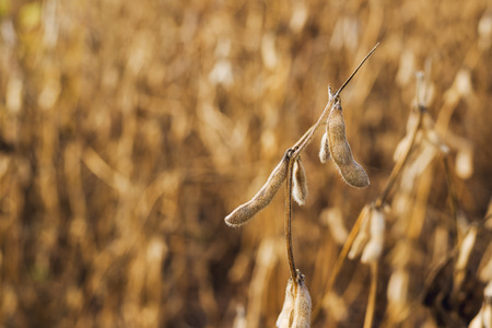 Harvest ready soy bean cultivated agricultural field, organic farming soya plantation