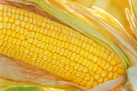a close up: Corn cob on ear in harvest ready cornfield, close up with selective focus