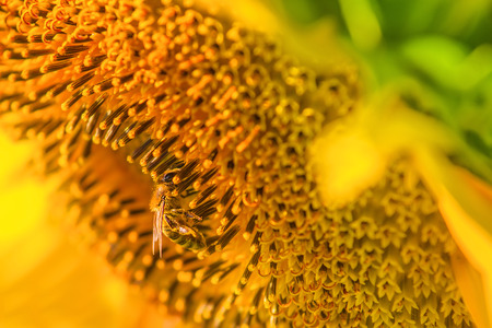 Honey bee and blooming sunflower, honeybee extracts nectar from flower, close up with selective focus