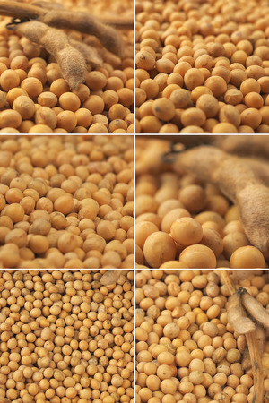monoculture: Soybean plant, macro shot of pods and beans harvested in late summer from cultivated field, collage image