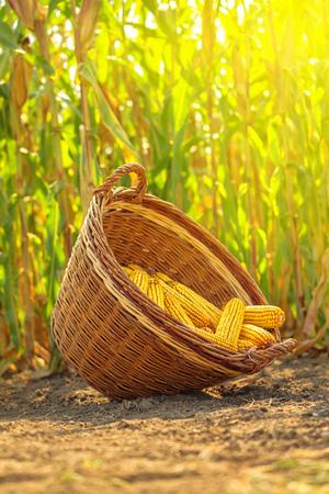 champ de mais: Maïs récolté dans un panier en osier, des oeufs de maïs fraîchement cueillis sur l'écouvillon en champ agricole, orientation sélective