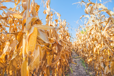 Harvest ready maize ear on stalk in cultivated corn field, close up with selective focus Archivio Fotografico