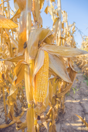 corn ear: