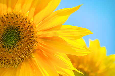 yellow agriculture: Sunflower against blue sky, cultivated plant in agricultural field, selective focus