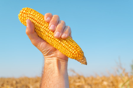 productions: Farmer holding harvested mature maize cob in corn field, hand raised in air for success in agricultural production.