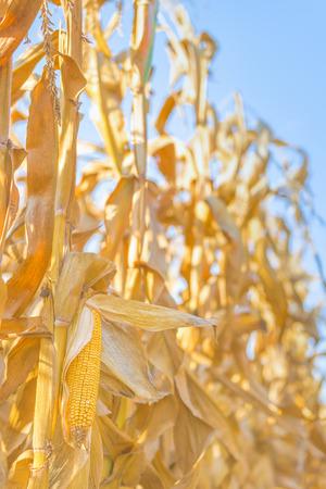 champ de mais: maïs mûr torchis sur une tige dans le champ de maïs prêt de la récolte, fermer avec mise au point sélective Banque d'images