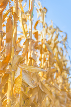 stalk: Mature maize cob on a stalk in harvest ready corn field, close up with selective focus
