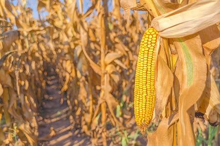 maiz: Campo de ma�z, cosecha listo maduro o�do mazorca de ma�z en el tallo en el campo de ma�z cultivado, de cerca con atenci�n selectiva