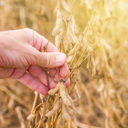 genetically modified crops: Farmer hand in harvest ready soy bean cultivated agricultural field, organic farming soya plantationv, selective focus
