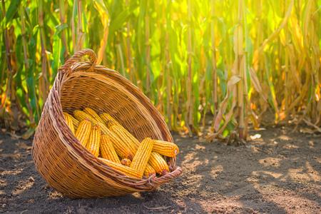 mazorca de maiz: Maíz cosechado en cesta de mimbre, recién elegido orejas de maíz en el paisaje de campo agrícola, foco selectivo
