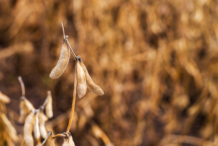 genetically modified crops: Harvest ready soy bean cultivated agricultural field, organic farming soya plantation