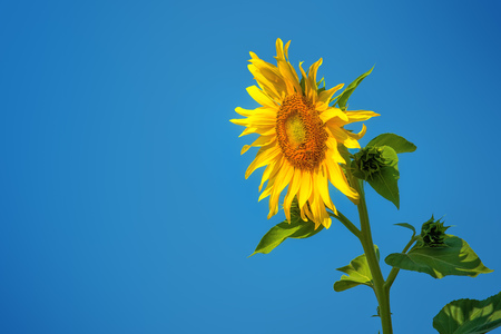 flowerhead: Sunflower against blue sky, cultivated plant in agricultural field