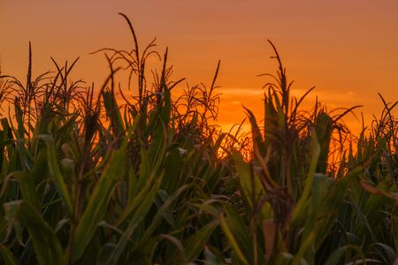 champ de mais: Corn plants in maize field on cultivated agriculture plantation, cornfield against sunset.