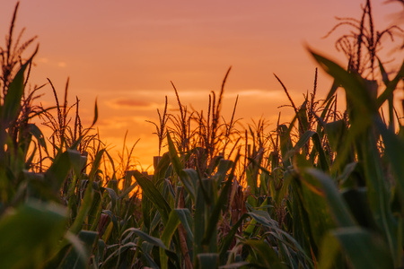 maize cultivation: Corn plants in maize field on cultivated agriculture plantation, cornfield against sunset.