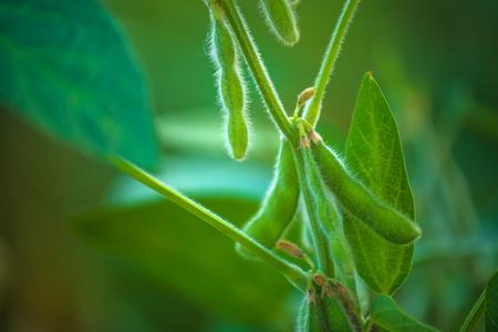 フィールドに、プランテーションに成長している若い緑大豆大豆作物日没日差しレンズフレア効果、セレクティブ フォーカス。