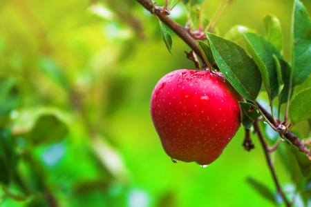 apple orchard: Organic red apple on branch, fruit on orchard ready for picking Stock Photo