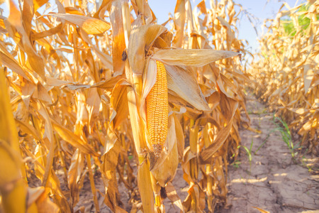 maiz: Harvest ready corn on stalk in cultivated maize field, close up with selective focus